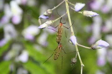 copulation de moustiques