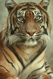 portrait of a sumatran tiger poster