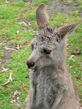 joey grey kangaroo poster