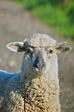 portrait of a sheep poster