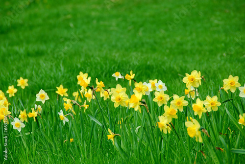 daffodils and grass