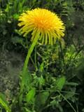 gold spring dandelion poster