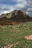 sheep landscape poster