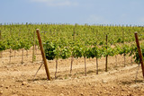 vineyard in catalonia, spain poster