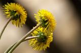 sunny dandelion poster