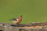 male chaffinch poster