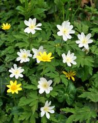 wild celandine flowers