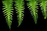 four fern leaves poster