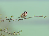 tiny goldfinch poster
