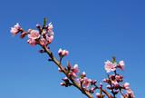 peach blossom poster