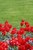lawn and tulips poster