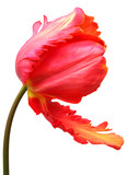 Fototapety tulipe sur fond blanc