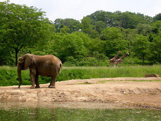 an elephant and two giraffes at the pittsburgh zoo