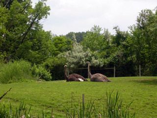 two ostrich at the pittsburgh zoo