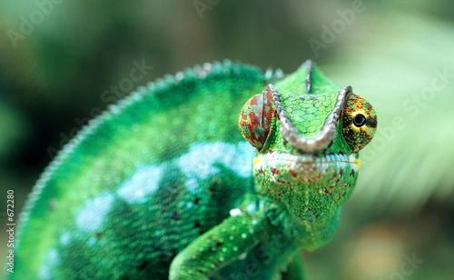 Foto op Canvas Kameleon endormi