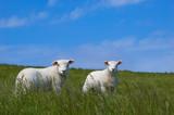 cute baby sheep poster