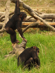 chimp crazy