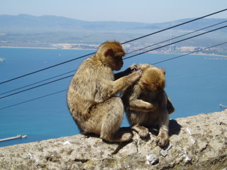 barbary apes picking nits