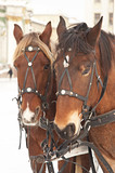 pair of horses poster