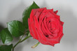rote edelrose