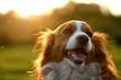roleta: kooijker dog with sunset