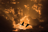pair of geese at sunset poster