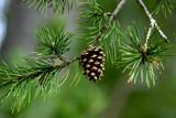 pine cone closeup poster