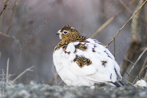 canvas print picture female ptarmigan