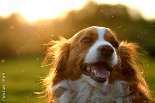 kooijker dog with sunset