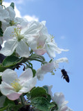 bee and apple blossom poster
