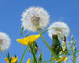 dandelion clocks and buttercups poster