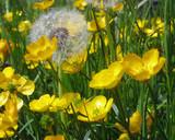 dandelion amongst buttercups poster