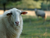 a beautiful sheep poster