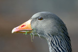 goose with grass poster