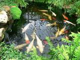 koi carp in a pond poster