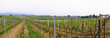 panoramic wineyards in spring