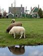 sheeps #3