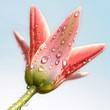 Leinwanddruck Bild wilde tulpe