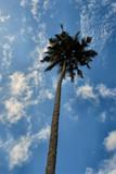 palm tree over blue sky, zanzibar, tanzania poster