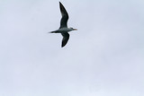 crested tern flying poster