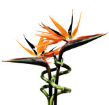 birds of paradise flowers poster