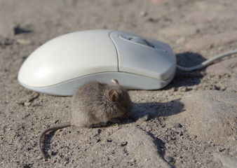 live mouse and computer mouse #2 of 4