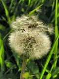 pretty blow-ball of dandelion poster