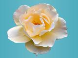 rose pastell poster