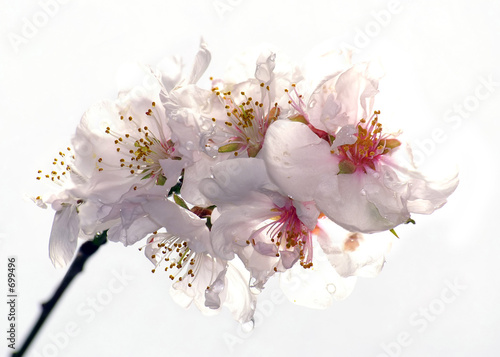 flowers plums on a white background