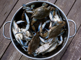 crab - live blue crabs 4