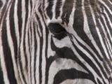 Fototapeta biały - zwierzę - Dziki Ssak