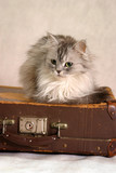 cat on old suitcases - 1 poster