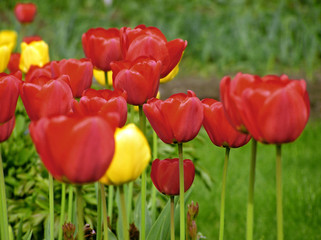 pour out tulips