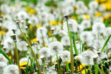 seeding dandelions